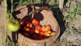 Frau, die zerrissene Tomaten in einen hölzernen Korb einsetzt stock video