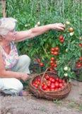 Frau erntet ein Getreide der Tomaten Lizenzfreies Stockbild