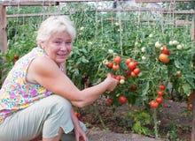 Frau erntet ein Getreide der Tomaten Lizenzfreie Stockbilder