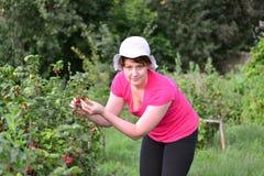 Frau erntet eine Ernte der roten Johannisbeere im Garten Stockbilder