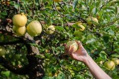 Frau erntet grüne Äpfel vom Baum mit der Hand lizenzfreie stockfotografie