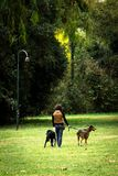 Frau geht zwei Hunde im Park stockbild