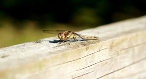 Frau gemeine Darter-Libelle Stockbild