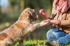 Frau gibt Hund eine Festlichkeit und erhält die Tatze lizenzfreies stockbild