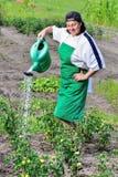 Frau gießt grüne Tomaten Stockfotografie