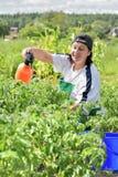 Frau gießt grüne Tomaten Lizenzfreie Stockbilder