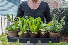 Frau hält Behälter von Sämlingen bereit zum Pflanzen stockfotografie
