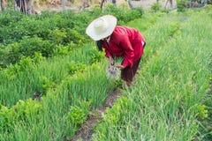 Frau im Gemüsegarten Stockfotos