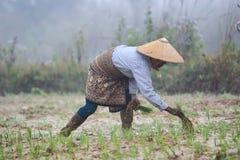 Frau im Reis fileld lizenzfreies stockbild