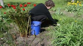 Frau kümmert sich um Garten der Tulpenblumenbeete im Frühjahr stock footage