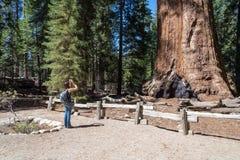 Frau macht ein Foto des Baums des riesigen Mammutbaums, Mammutbaum nationales F Stockbild