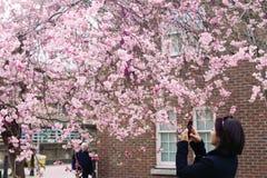 Frau macht Foto der blühenden Kirsche am Handy Stockfotos
