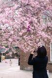 Frau macht Foto der blühenden Kirsche am Handy Stockbild