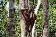 Frau mit dem Kind des Orang-Utans auf einem Baum. Stockfoto