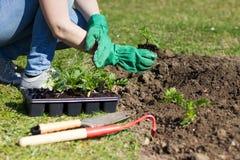 Frau mit den grünen Handschuhen gepflanzt in einem Bett Stockbild