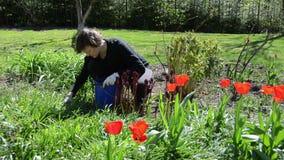 Frau mit Handschuhen interessieren sich Frühlingstulpenblumen im Hinterhof stock video