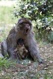 Frau mit jungem Barbary-Affen, Macaca Sylvanus, Atlas-Berge, Marokko Lizenzfreie Stockbilder