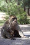 Frau mit jungem Barbary-Affen, Macaca Sylvanus, Atlas-Berge, Marokko Stockfotos