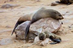 Frau mit jungem Südafrikanischer Seebär Arctocephalus pusillus Lizenzfreies Stockfoto