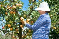 Frau mit weißem Hut wählt einen Apfel aus Lizenzfreies Stockfoto