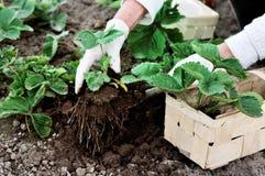 Frau pflanzt Erdbeeranlagen Lizenzfreies Stockbild