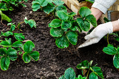 Frau pflanzt Erdbeeranlagen Stockfoto