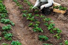 Frau pflanzt Erdbeeranlagen in ihrem Garten Lizenzfreies Stockbild