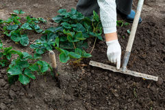 Frau pflanzt Erdbeeranlagen in ihrem Garten Stockfotos