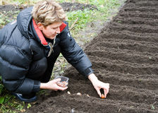 Frau pflanzt Tulpen Stockbilder
