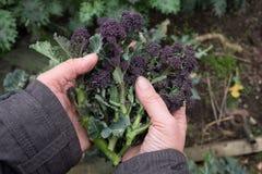 Frau ` s übergibt das Halten des purpurroten Keimungsbrokkolis im Garten Stockbilder