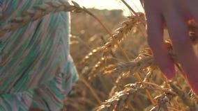 Frau ` s Hand, die durch Weizenfeld geht Mädchen ` s Handrührende Weizenährenahaufnahme Herbstblattrand mit verschiedenem Gemüse  stock video