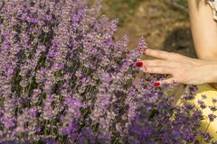 Frau ` s Hand, die weich Lavendel berührt, blüht Lizenzfreies Stockfoto