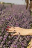 Frau ` s Hand, die weich Lavendel berührt, blüht Stockfoto