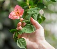 Frau ` s Hand hält eine Niederlassung mit einer Blume Heliconia Lizenzfreie Stockfotos