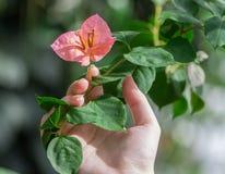 Frau ` s Hand hält eine Niederlassung mit einer Blume Heliconia Stockfotos