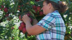 Frau sammelt die Ernte von reifen Äpfeln stock video footage