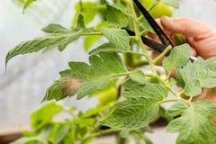 Frau schneidet Tomatenpflanzeniederlassungen im Gewächshaus, die durch Pest angesteckt werden Stockbild