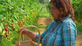 Frau setzt Erdbeeren in Korb ein stock video footage
