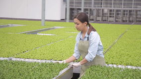 Frau setzt Salatsprösslinge auf eine wachsende Tabelle für Hydroponik stock video footage