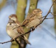Frau Sparrow Lizenzfreies Stockbild