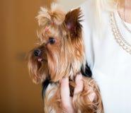 Frau streichelnder bezaubernder Yorkie-Terrier Stockbilder