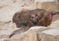 Frau und Baby amadryas Pavian oder Papio hamadryas Lizenzfreie Stockfotos