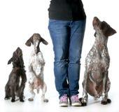 Frau und ihre Hunde Stockfotos
