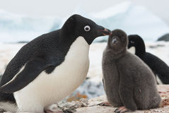 Frau und Küken Adelie-Pinguin auf Nest stockfoto