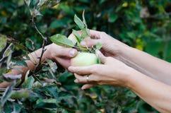 Frau und Mann ernten zusammen Apfel im Garten lizenzfreie stockbilder