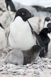 Frau und zwei Adelie Pinguinküken. Stockbilder