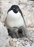 Frau und zwei Adelie-Pinguinküken in einem Nest. Stockbild