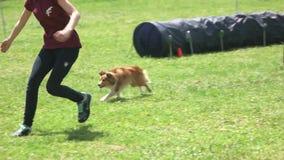 Frau unterrichtet ihren Hund, in Beweglichkeitstunnel zu kommen stock video