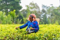 Frau vom Sri Lanka Sammelnteeblatt auf Teeplantage Stockbild