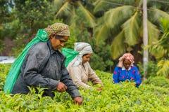 Frau vom Sri Lanka Sammelnteeblatt auf Teeplantage Stockfotografie